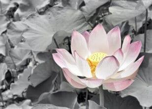 Schwarzbunter Lotus 1