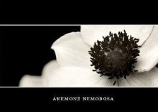 Anemone Nemorosa 1