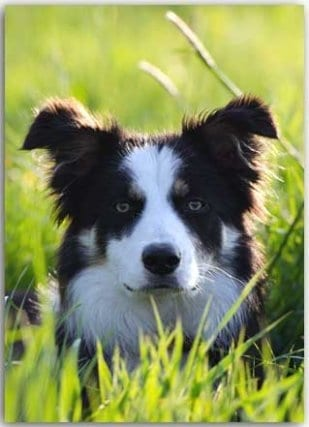 Postkarte Border Collie