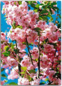 Postkarte Kirschblüten
