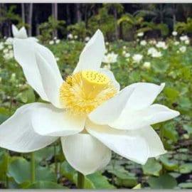 Postkarte Weißer Lotus