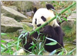 Pandamahlzeit 1