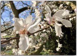 Postkarte Magnolia