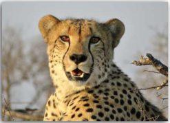 Postkarte Gepard