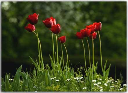 Postkarte Tulpen