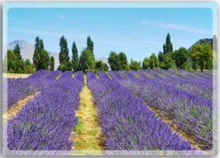 Postkarte Lavendeltraum