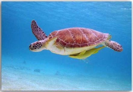 Postkarte Meeresschildkröte 1