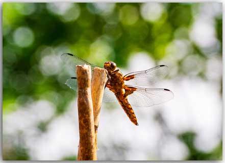 Postkarte Dragonfly