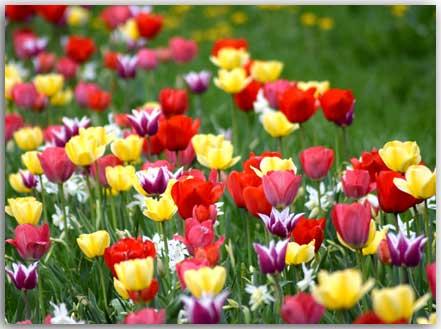 Postkate mit Tulpen
